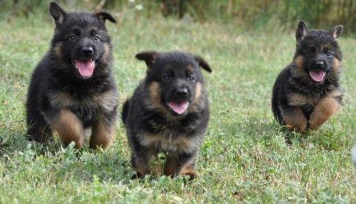 Kurt Köpeği Yavrusu Kurt Köpeği Yavrusu Türleri Kurtgentr